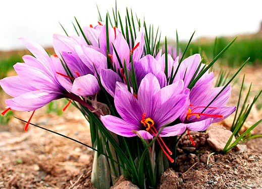 A flor de açafrão é exótica e cara