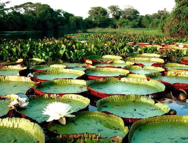 A vitória régia é uma das flores exóticas brasileiras mias bonitas e famosas