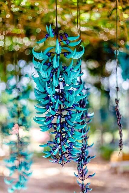 A jade vine é uma das flores exóticas mais bonitas