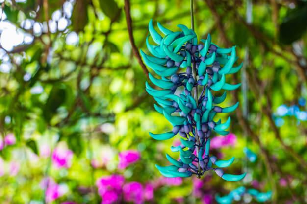 Flores exóticas como a jade vine são lindas para decorar o jardim