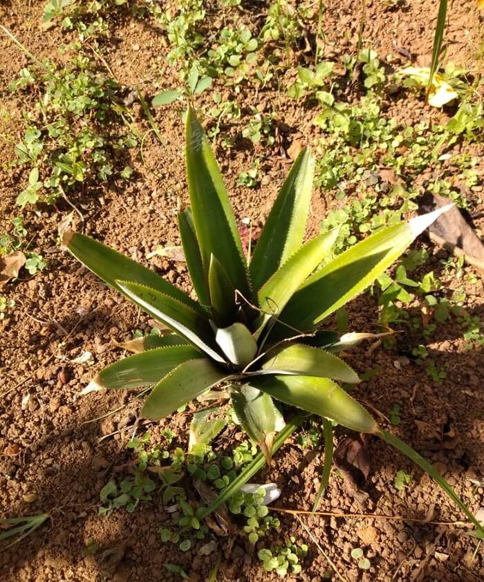 Dicas de como plantar muda de abacaxi em vasos ou direto na terra. Foto: Nathalia Inson