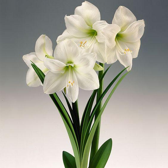 Amarilis branca com miolo verde claro