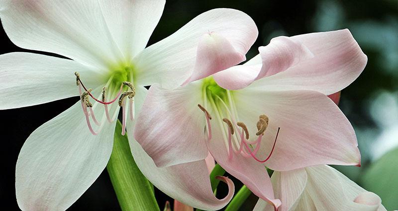 Flor amarilis branca com detalhes cor de rosa