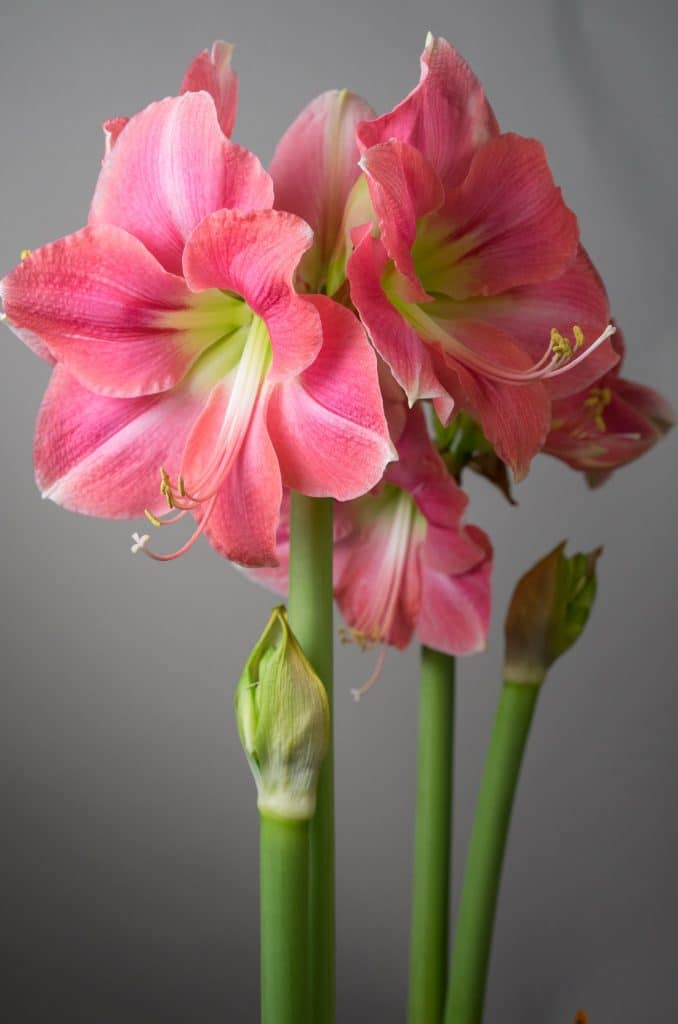Flor amarílis rosa com miolo verde