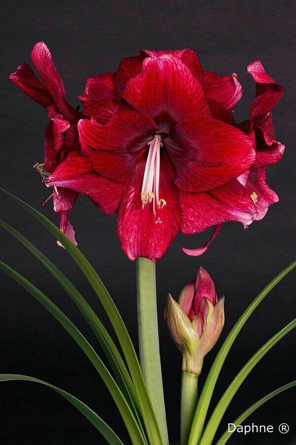 Flor amarílis vermelha