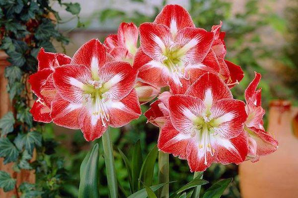 Flores amarilis em vermelho e branco
