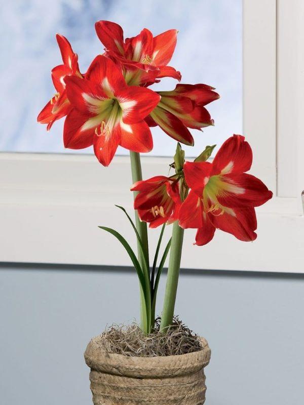 Planta amarílis vermelha e branca com vaso rustico