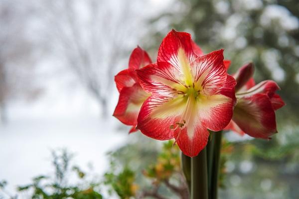 Flor branca e vermelha de amaryllis