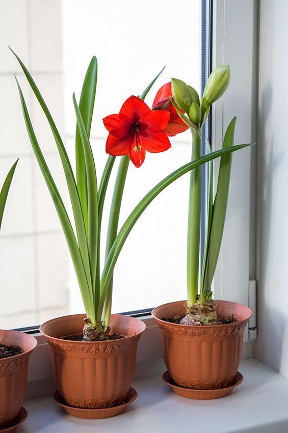 Janela decorada com vaso de flor amarilis vermelha